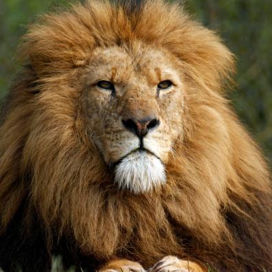 Lion, South Lakes Wild Animal Park