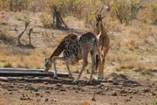 Bowerskop Giraffe