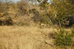 Lions on the bush walk