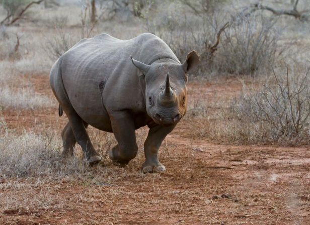 Black Rhino (1)
