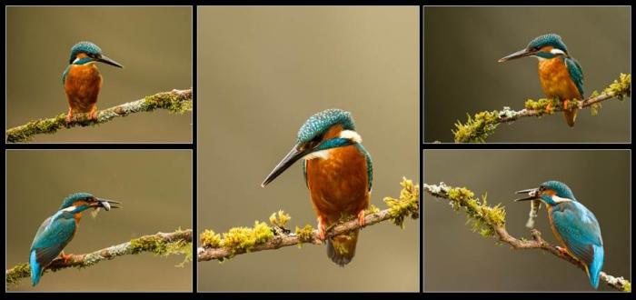 Kingfishers Panel