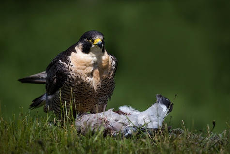 Peregrine Falcon (1) copy