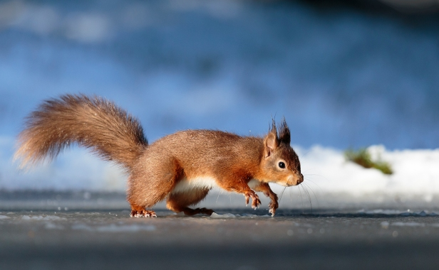 Skating on Thin Ice - Red Squirrel