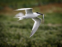 Sandwich Tern and Sand Eel
