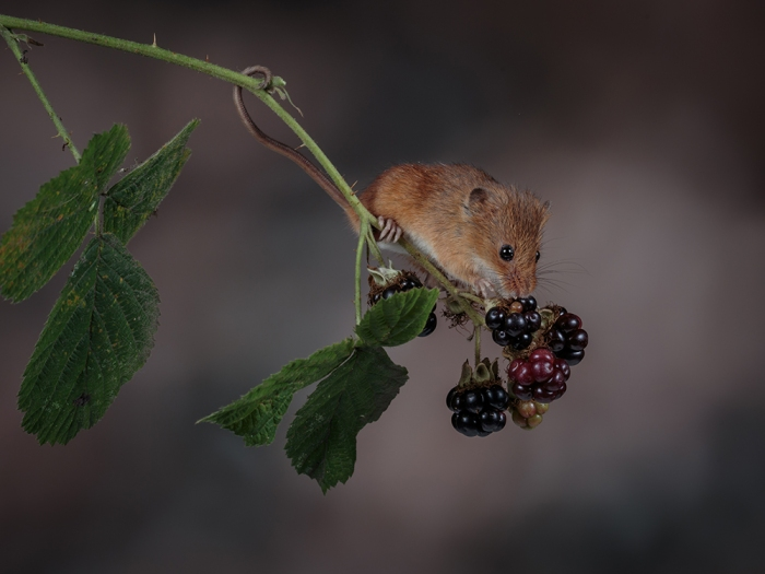 Harvest Mouse on Blackberries (1) web