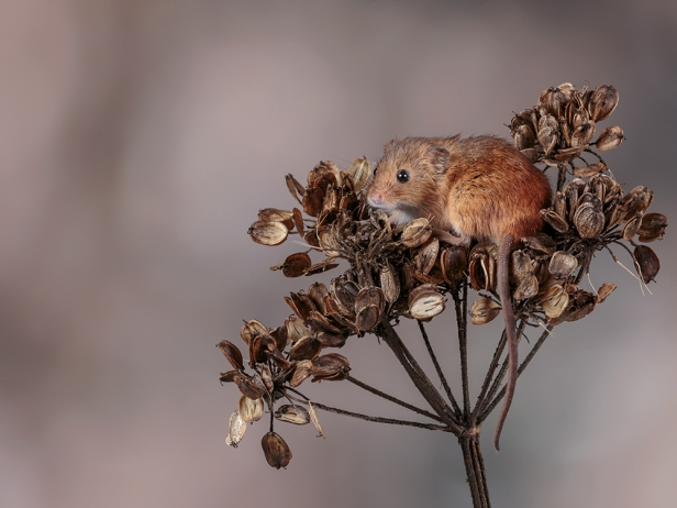 Harvest Mouse on Flower Head (1) web