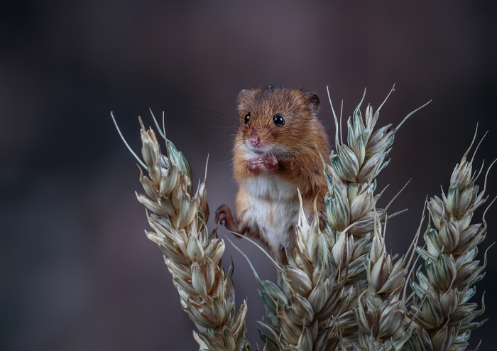 Harvest Mouse on Wheat (1) web