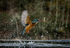 Kingfisher (1)