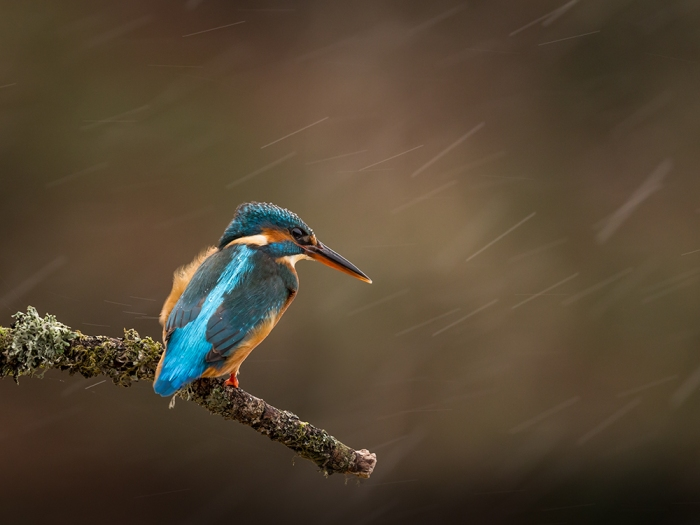 Kingfisher (3)