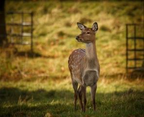 fallow-deer-hind