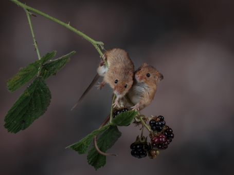 Harvest Mice on Blackberries