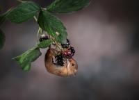 Harvest Mouse on Blackberries