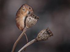 Harvest Mouse on Poppy Seedheads