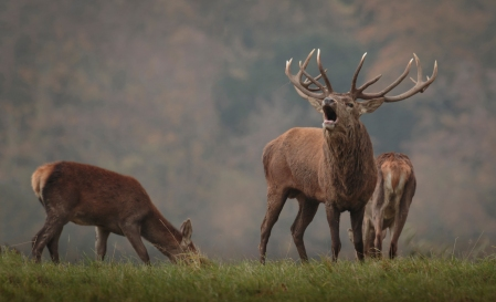 red-deer-in-mist