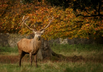 red-deer-stag-4