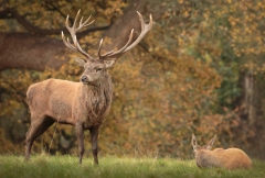 red-deer-stag-and-hind-2
