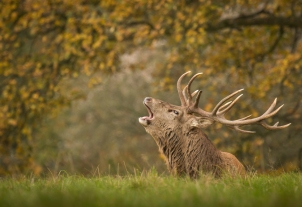 red-deer-stag-bellowing-2