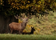 red-deer-stag-hind