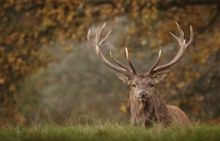 red-deer-stag-resting-2