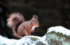 Red Squirrel in Snow