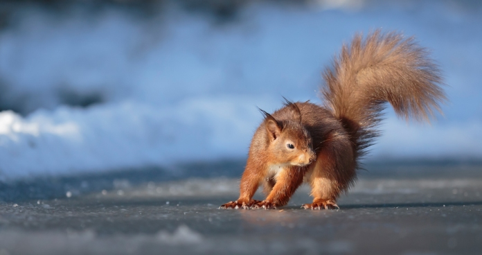 Red Squirrel on Ice