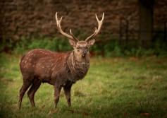 sitka-deer-stag