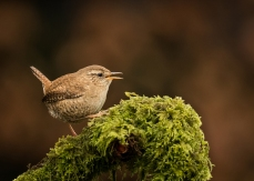 Wren on a Mossy Log