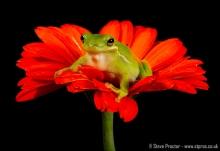 American Green Tree Frog (1)