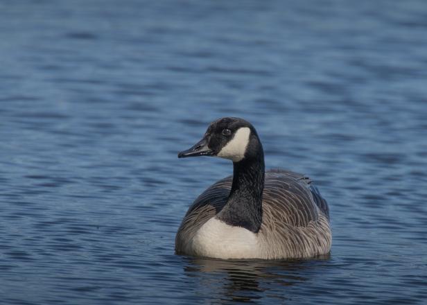 Canada Goose (2) (web)