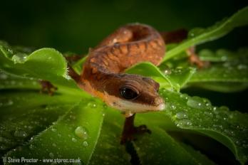 Cat Gecko