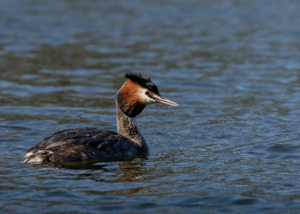 Great Crested Grebe (2) (web)
