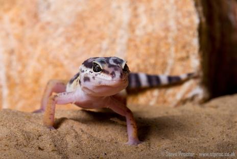 Leopard Gecko (3)