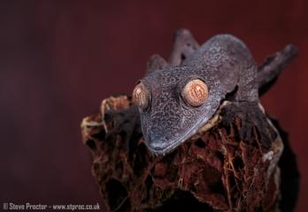 Madagascan Leaf-Tailed Gecko
