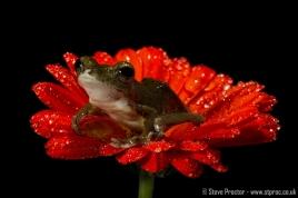 Malaysian Flying Frog (1)
