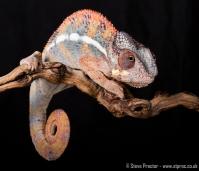 Panther Chameleon (7)