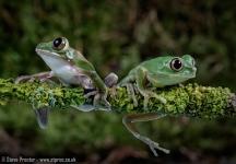 Peacock Tree Frog Pair