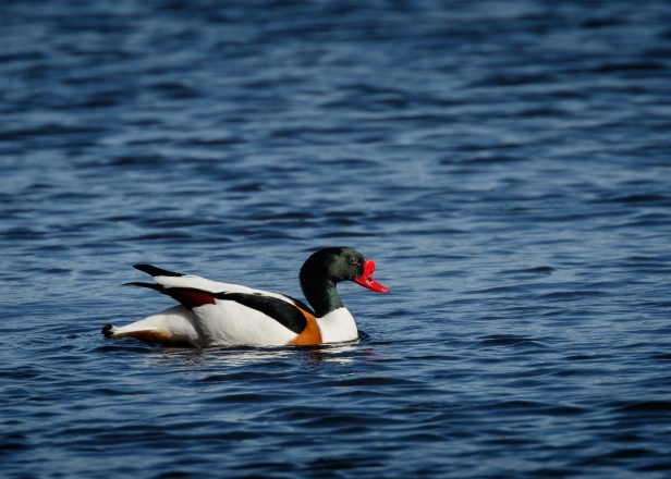 Shelduck (web)