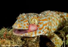 Tokai Gecko