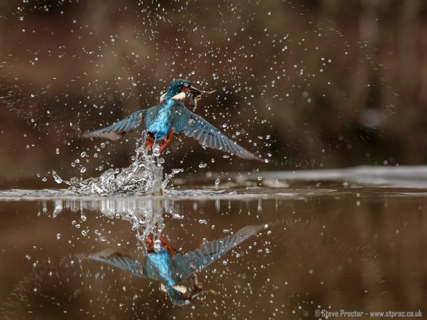 Kingfisher Emerging with Catch