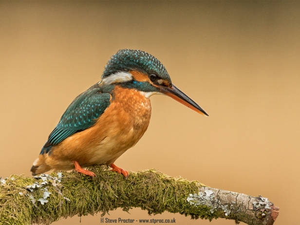 Kingfisher Perched