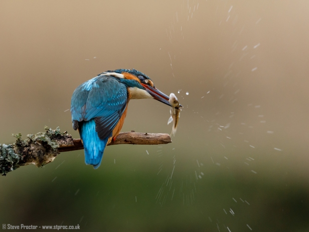 Kingfisher Stunning the Catch