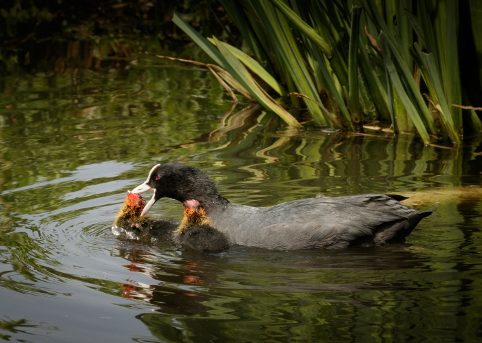 Coot Aggression to Chick