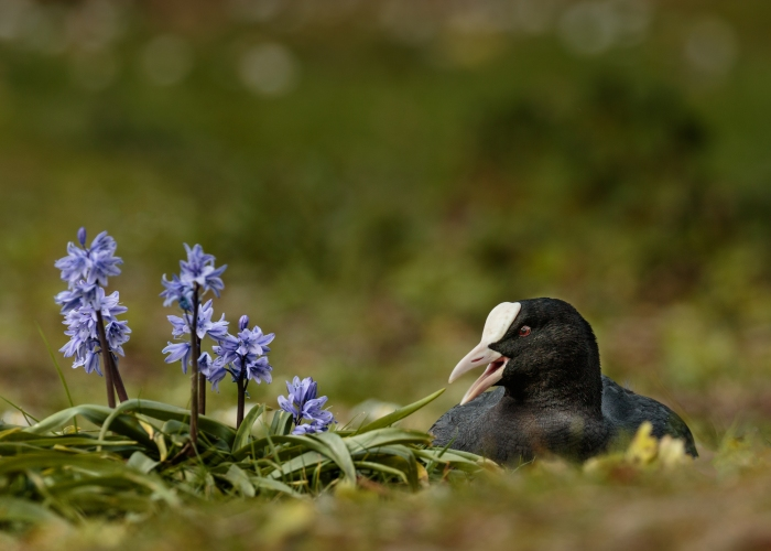 Coot and Bluebells