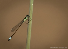 Blue Tailed Damselfly (Female)