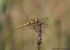 Common Chaser (2)