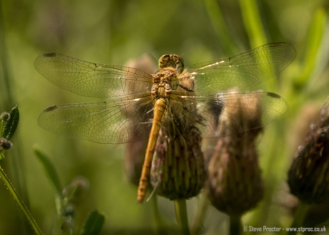Common Chaser (3)
