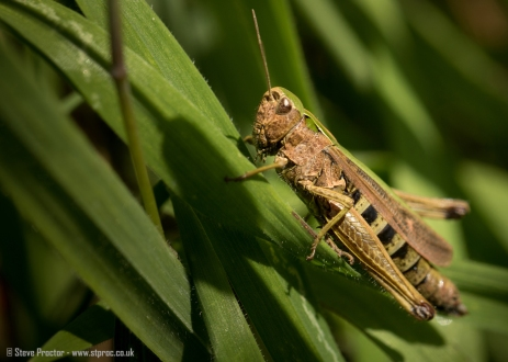 Common Grasshopper