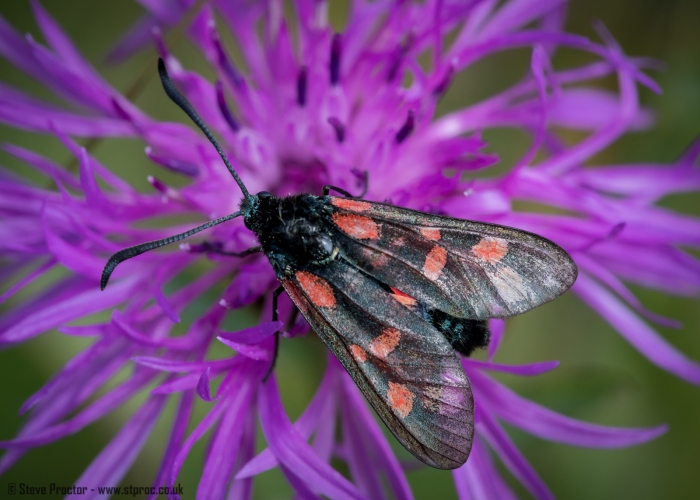 Five-Spot Burnet Moth (web)