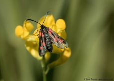 Five-Spot Burnett Moth on XXX