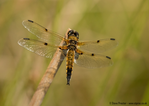 Four-Spotted Chaser (2) (web)